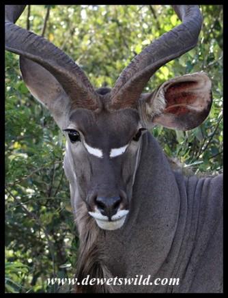 Kudu bull close-up