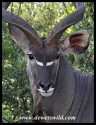 Kudu bull close-up