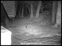 Large-spotted Genet outside our cabin in the dark of night