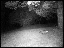 Cape, or South African Large-spotted Genet caught by our camera-trap outside our chalet at Bontebok National Park