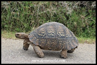 Leopard Tortoises are commonly encountered in Addo