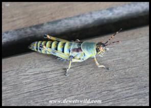 Immature Elegant Grasshopper