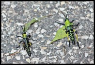 Leprous Grasshoppers