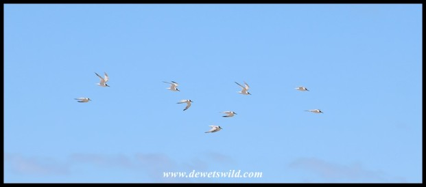 Little Terns in flight