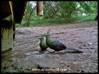 Livingstone's Turacos
