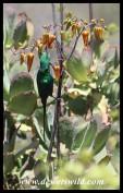 Malachite Sunbird on Pig's Ear flowers