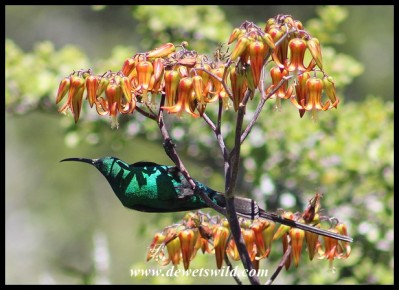 Malachite Sunbird on Pig's Ear flowers