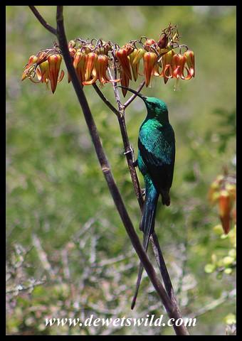 Malachite Sunbird with Pig's Ear flowers