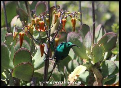 Malachite Sunbird with Pig's Ear flowers