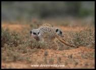 Meerkats foraging