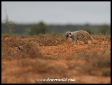 Meerkats searching for food