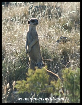 Meerkat (photo by Joubert)
