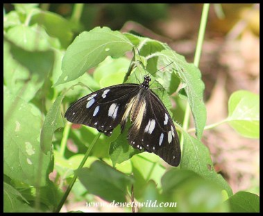 Female Mocker Swallowtail mimicking the Layman butterfly
