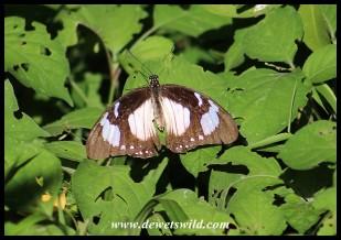Female Mocker Swallowtail mimicking the Novice butterfly