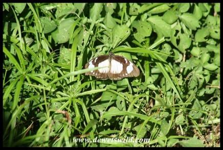 Female Mocker Swallowtail mimicking the Novice butterfly (photo by Joubert)