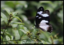 Female Mocker Swallowtaill mimicking the Friar butterfly