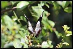 Female Mocker Swallowtail mimicking the Friar butterfly