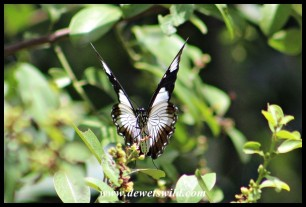 Female Mocker Swallowtail mimicking the Friar butterfly