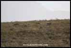 Cape Mountain Zebras on a hillside in the Bontebok National Park