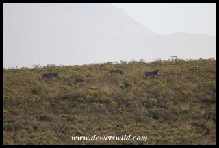 Cape Mountain Zebras on a hillside in the Bontebok National Park