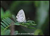 Natal Blue butterfly