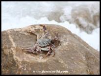 Natal Rock Crab