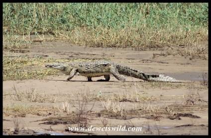 Nile Crocodile at the mouth of Lake St. Lucia