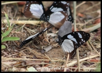Novice butterflies