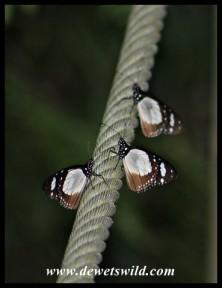 Novice butterflies
