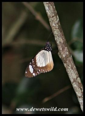 Novice butterfly