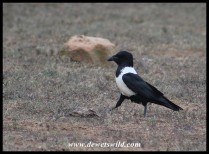 Pied Crow strutting his stuff!