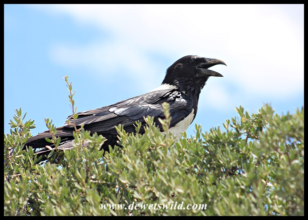 Very hot Pied Crow