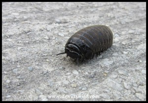 Pill-millipede