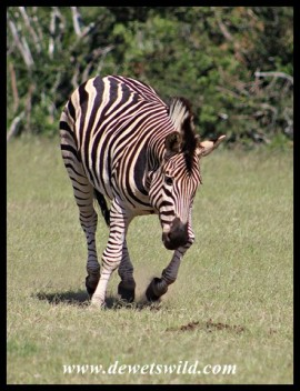 Playful Plains Zebra stallion