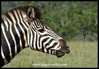 Plains Zebra stallion close-up (photo by Joubert)