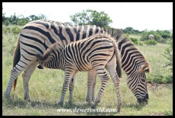 Plains Zebra mare and foal (photo by Joubert)