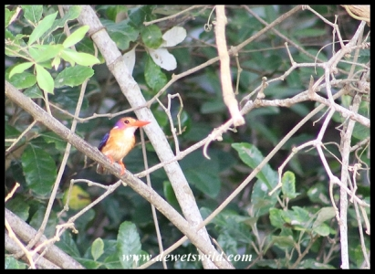 African Pygmy Kingfisher