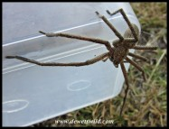 Rain Spider escaping the Tupperware at Bontebok National Park