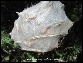 Rain Spider egg sac