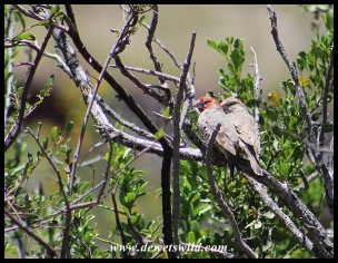 Red-headed Finches