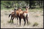Red Hartebeest trio