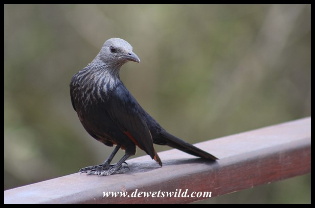 Red-winged Starling female