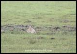 Reedbuck ewe
