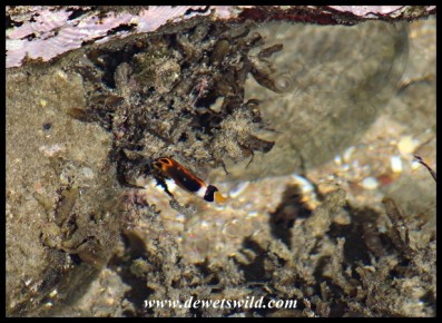 Little Butterflyfish in a rock pool at Mission Rocks