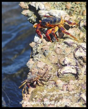 Crabs on the rocks at Mission Rocks
