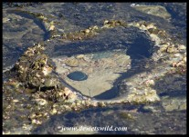 Heart-shaped rock pool at Mission Rocks