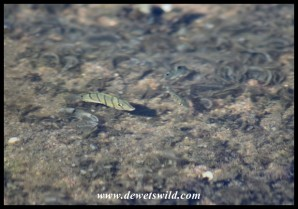 Little fish in a rock pool at Mission Rocks