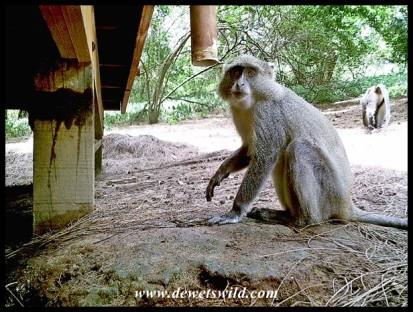 Samango Monkeys