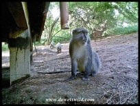 Samango Monkeys with a bushbuck in the background