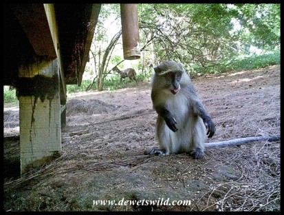 Samango Monkey with a bushbuck in the background